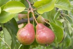 Due pere su una filiale di albero Immagine Stock Libera da Diritti