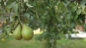 Due pere sul ramo di albero in foglie video d archivio