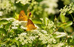 Due perla Crescent Butterflies In Summer Garden Immagine Stock