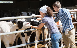 Due persone che applaudono le mucche in capannone e nel sorridere Fotografia Stock