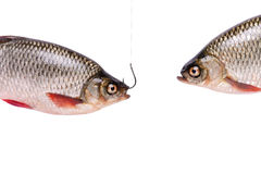 Due pesci, pesce su un gancio, isolato su bianco, percorso di ritaglio Fotografia Stock