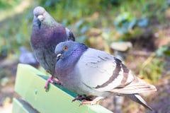 Due piccioni Fotografie Stock Libere da Diritti