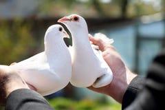 Due piccioni bianchi nelle mani dei selezionatori Fotografia Stock