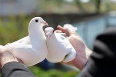 Due piccioni bianchi nelle mani dei selezionatori Immagine Stock Libera da Diritti