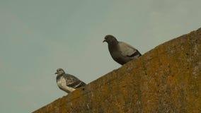 Due piccioni Giorno di autunno stock footage