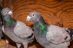Due piccioni grigi Immagini Stock Libere da Diritti