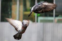 Due piccioni selvaggi decollano dall'asfalto nella piazza fotografie stock libere da diritti