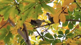 Due piccioni si siedono su un albero e guardano giù La colomba vola su Bello albero di autunno con le foglie gialle archivi video