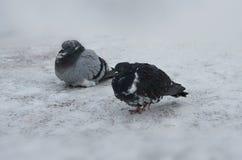 Due piccioni sulla neve Fotografia Stock
