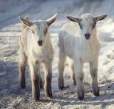 Due piccole capre sveglie stanno stando nella neve immagini stock libere da diritti