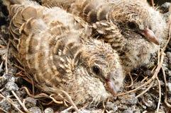 Piccole colombe del bambino Fotografie Stock Libere da Diritti
