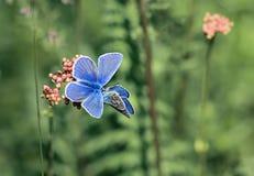 Due piccole farfalle blu si siedono avanti su un prato dell'estate Fotografia Stock