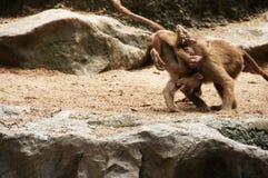 Due piccole scimmie Immagini Stock