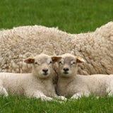 Due piccoli agnelli che lo esaminano Fotografia Stock Libera da Diritti