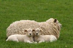 Due piccoli agnelli che lo esaminano Fotografie Stock