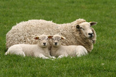Due piccoli agnelli che lo esaminano Fotografia Stock