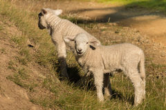Due piccoli agnelli che pascono sul pendio Fotografia Stock