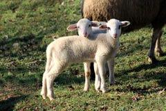 Due piccoli agnelli che posano per la macchina fotografica Fotografia Stock Libera da Diritti