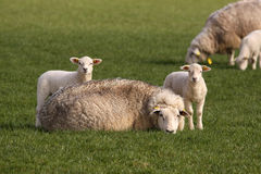 Due piccoli agnelli e pecore della madre che lo esaminano Fotografia Stock Libera da Diritti