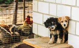 Due piccoli cagnolini Immagine Stock