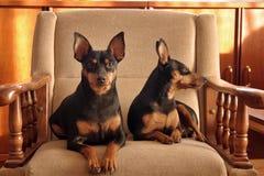 Due piccoli cani Immagine Stock