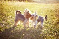 Due piccoli cani Fotografie Stock