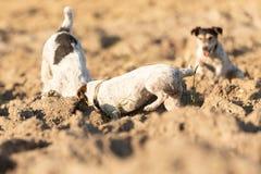 Due piccoli cani stanno scavando il foro - Jack Russell Terrier I segugi hanno 4 e 12 anni fotografia stock