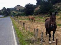 Due piccoli cavalli che pascono bordo della strada lungo il terreno coltivabile del otag immagine stock