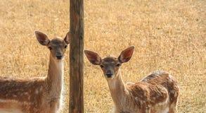 Due piccoli cervi rossi sul prato Fotografia Stock