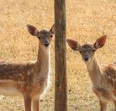 Due piccoli cervi rossi sul prato Fotografia Stock Libera da Diritti