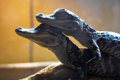 Due piccoli coccodrilli insieme per sempre fotografia stock