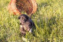 Due piccoli cuccioli neri che corrono sull'erba Fotografia Stock