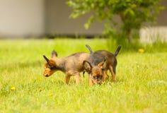 Due piccoli cuccioli rossi stanno camminando sul prato inglese verde Immagini Stock Libere da Diritti