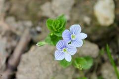 Due piccoli fiori Fotografia Stock Libera da Diritti