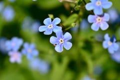 Due piccoli fiori blu nella macro fotografia stock