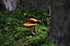 Due piccoli funghi arancio che crescono dal tronco muscoso Immagini Stock Libere da Diritti