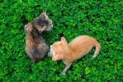 Due piccoli gattini che giocano sull'erba verde Bambini del gatto rosso e nero fuori fotografia stock