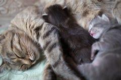 Due piccoli gattini neonati dormono dopo la loro alimentazione del ` s della madre Fotografia Stock Libera da Diritti