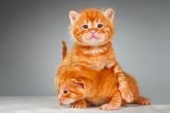 Due piccoli gattini rossi divertenti dei capelli fotografia stock