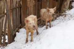 Due piccoli maiali georgiani su un'azienda agricola Fotografie Stock