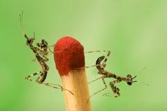 Due piccoli mantises e primi piani della corrispondenza sul BAC verde Immagine Stock