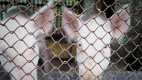 Due piccoli porcellini bianchi in un porcile, porcellini dietro una maglia metallica, azienda agricola di maiale archivi video