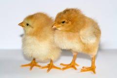 Due piccoli pulcini che stanno e che guardano a sinistra su un BAC bianco Fotografia Stock Libera da Diritti