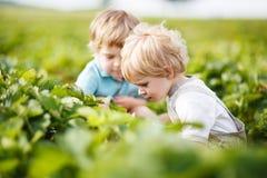 Due piccoli ragazzi dei gemelli sopra selezionano le fragole della bacca di un raccolto dell'azienda agricola Immagini Stock