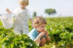 Due piccoli ragazzi dei gemelli sopra selezionano le fragole della bacca di un raccolto dell'azienda agricola fotografie stock