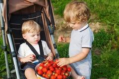 Due piccoli ragazzi del fratello germano sopra selezionano un'azienda agricola organica della fragola della bacca. Immagini Stock