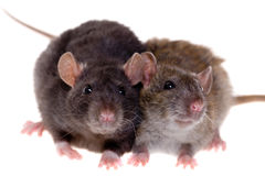 Due piccoli ratti Immagini Stock Libere da Diritti
