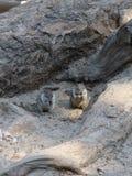 Due piccoli scoiattoli in parco nazionale di Yosemite fotografia stock libera da diritti