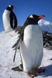 Due pinguini Fotografia Stock