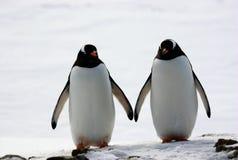Due pinguini camminano parallelamente Immagini Stock Libere da Diritti